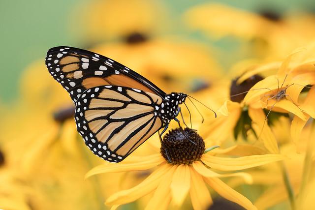 Door County Monarch - Explored!