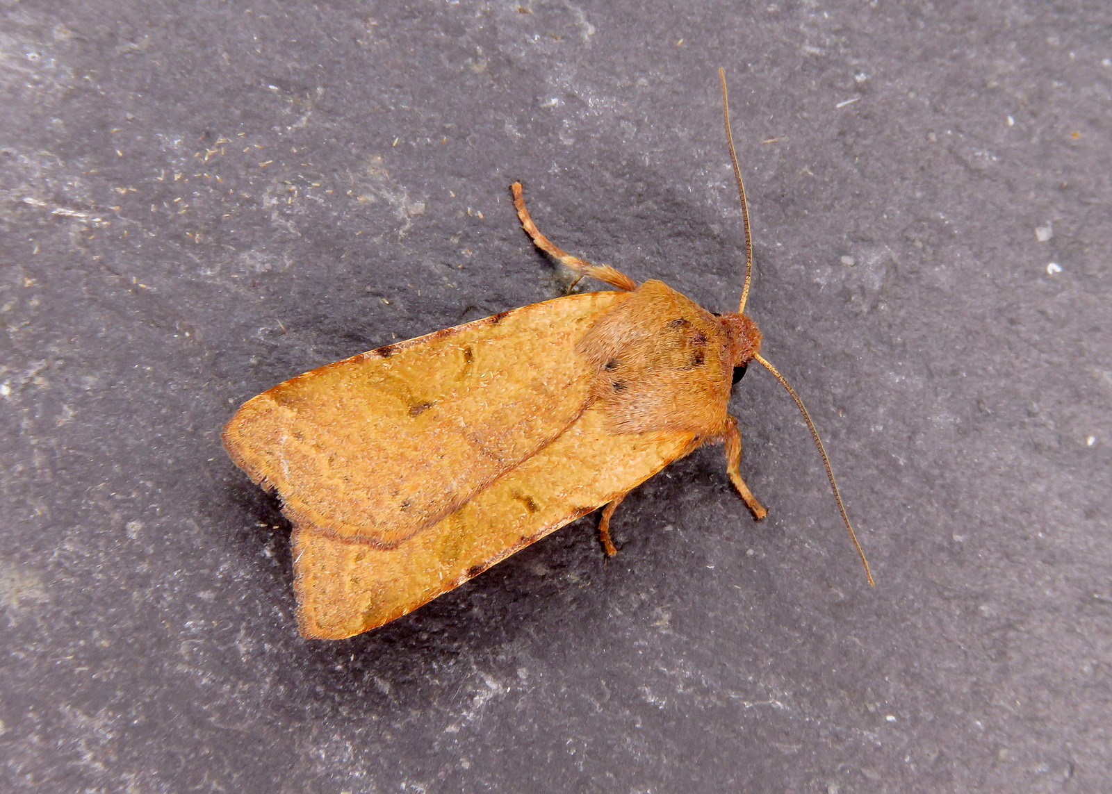 73.186 Beaded Chestnut - Agrochola lychnidis