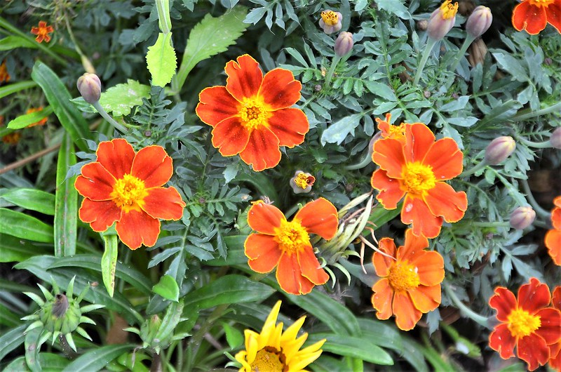 French Marigolds 30.08.2018