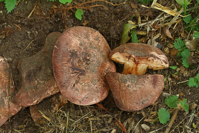 Allopsalliota geesterani ''Magic Button Mushroom'' Whitlingham 10.9.2018 (7)
