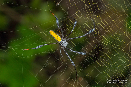 Golden orb weaver (Trichonephila  inaurata madagascariensis) - DSC_8509 | by nickybay