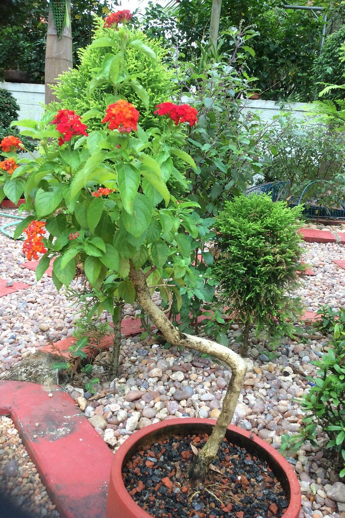 Lantana bonsai -