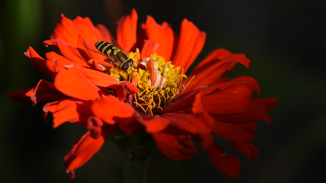 Hover Fly on Top of Zinnia [In Explore]