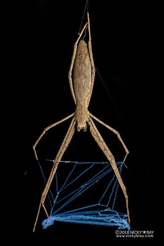 Net-casting spider (Deinopis sp.) - DSC_2950 | by nickybay