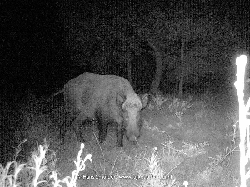Wild zwijn (Sus scrofa)-IMAG0042