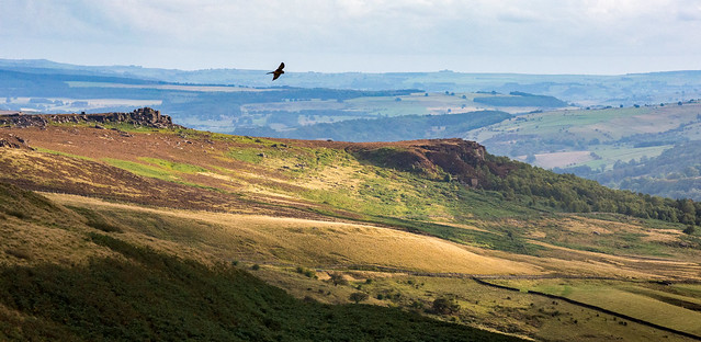 Kestrel over the moors
