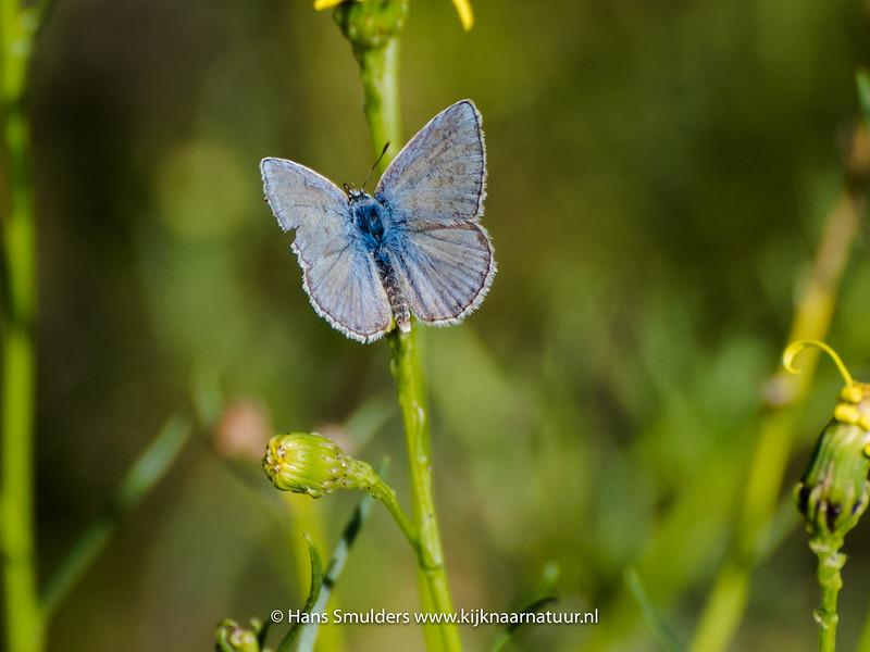 Icarisblauwtje (Polyommatus icaris)-818_5675