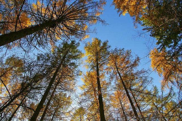 Lärchenkronen im Herbstwald