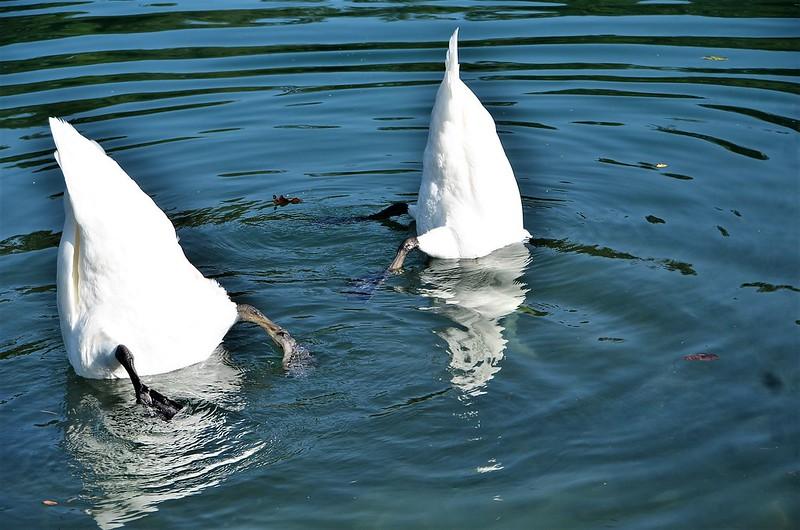 Swans 12.09 (1)