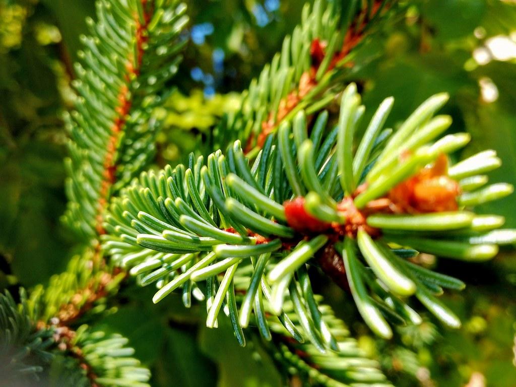 Rezultat iskanja slik za Picea abies