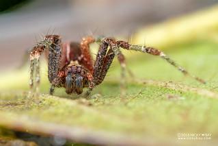 Nursery web spider (Pisauridae) - DSC_7936 | by nickybay
