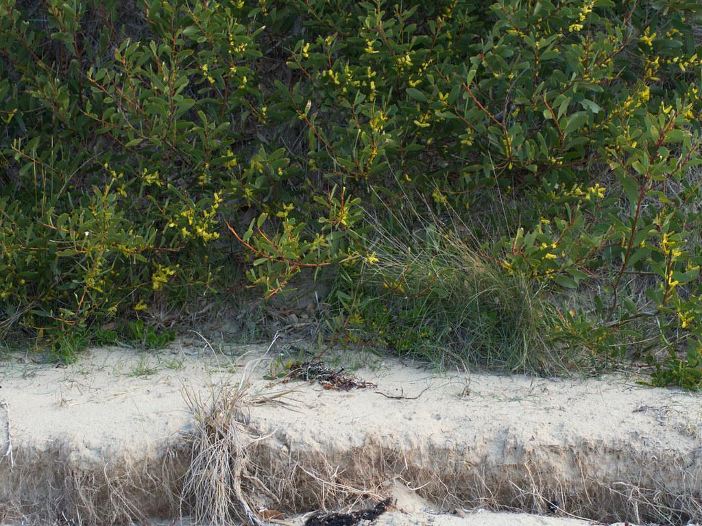 Coast Wattle Acacia Longifolia Subsp Sophorae Coast Wattl Flickr