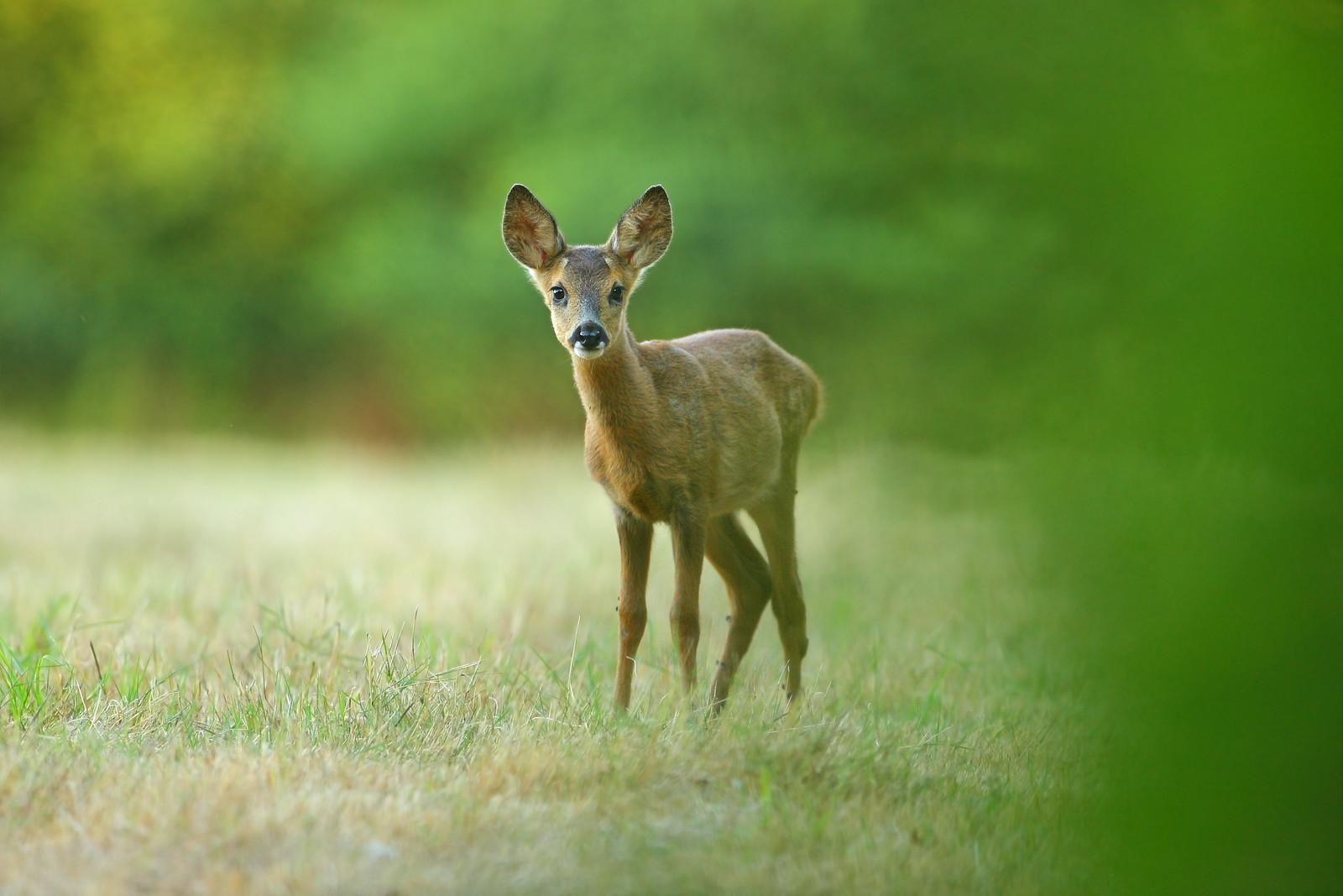 Curious baby Roe deer