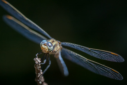 Orthetrum coerulescens ♂ | by macropoulos