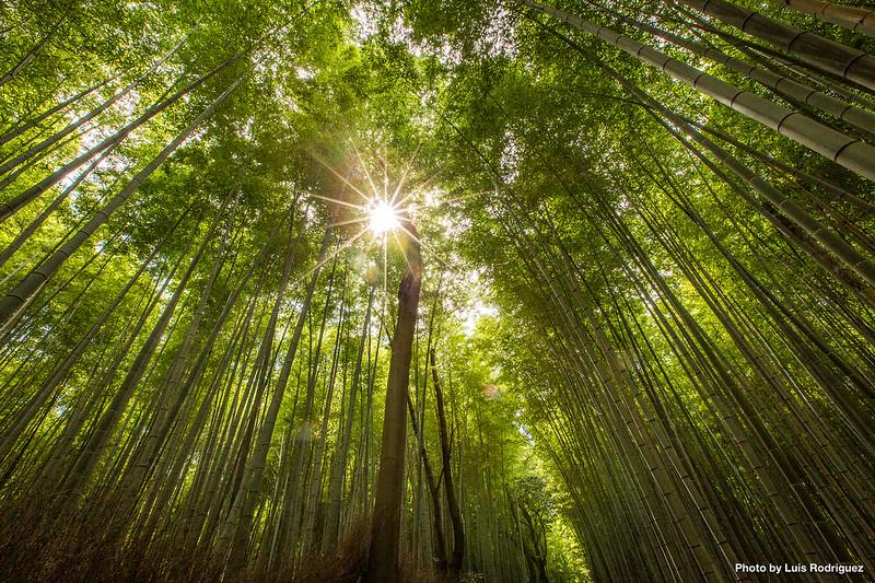 Bosque de bambú de Arashiyama