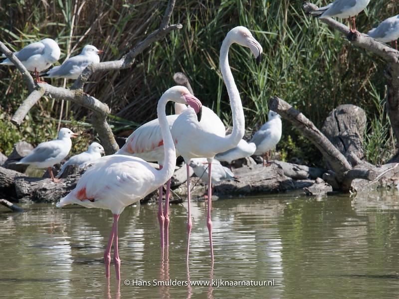 Flamingo (Phoenicopterus roseus)-818_5933