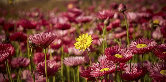 Botanic Garden Daisies - Sydney - NSW