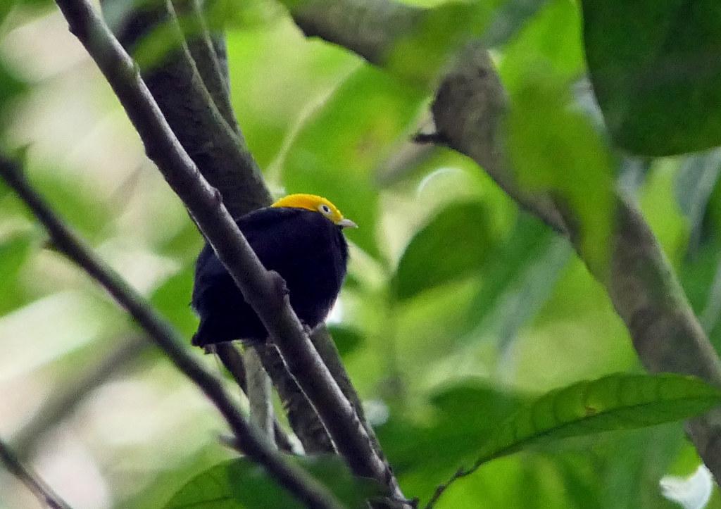 Saltarín Cabecidorado, Golden-headed Manakin (Ceratopipra erythrocephala) (Pipra erythrocephala)