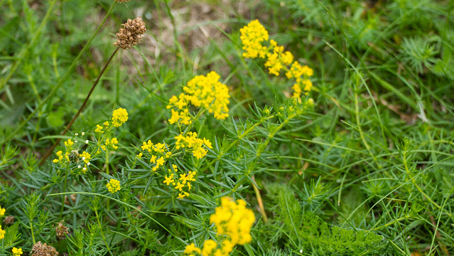 Lady's bedstraw, flowering
