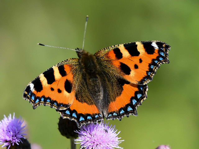 Small Tortoiseshell Watchtree Nature Reserve N000026 D210bob DSC_3913