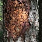 Eastern larch beetle damage on tamarack (Larix laricina) in Northern Minnesota
