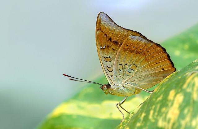 Dakhan Common Baron (Male) - Euthalia aconthea meridionalis