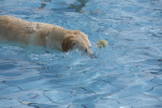 Our underwater labrador, Leijka