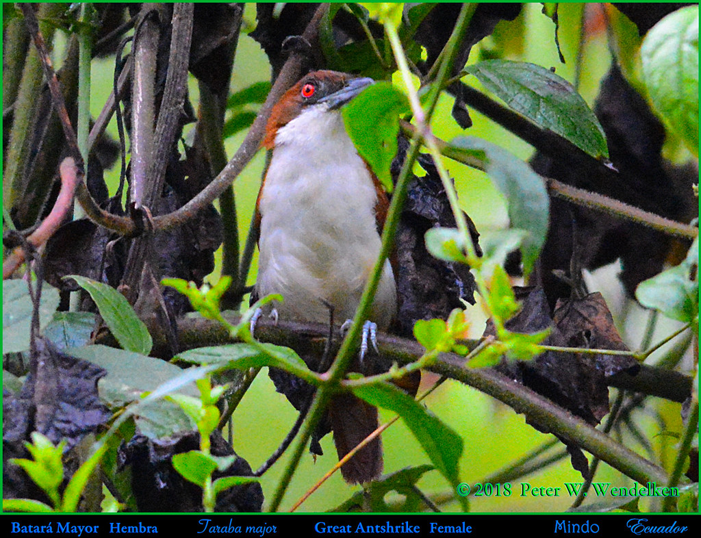 GREAT ANTSHRIKE Taraba major Female in Mindo, ECUADOR. Photo by Peter Wendelken.