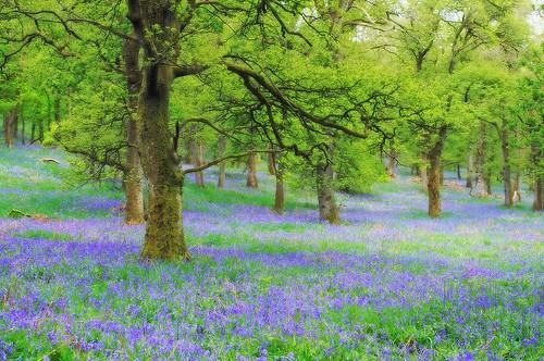 ericrobbniven scotland bluebells wildlife nature dundee landscape