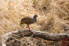 Red-necked Francolin by DragonSpeed