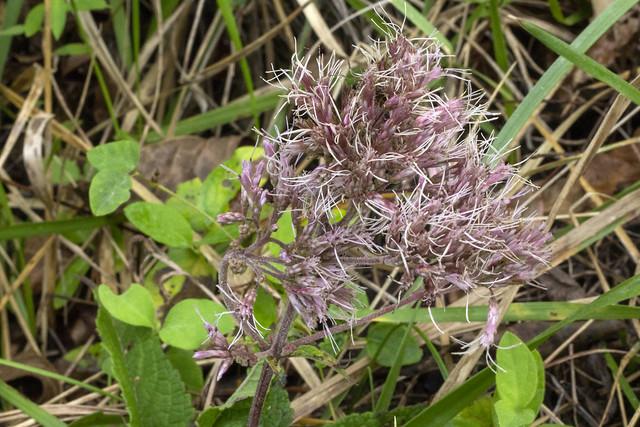 Eupatoriadelphus purpureus, Bledsoe SF, Bledsoe County, Tennessee 1