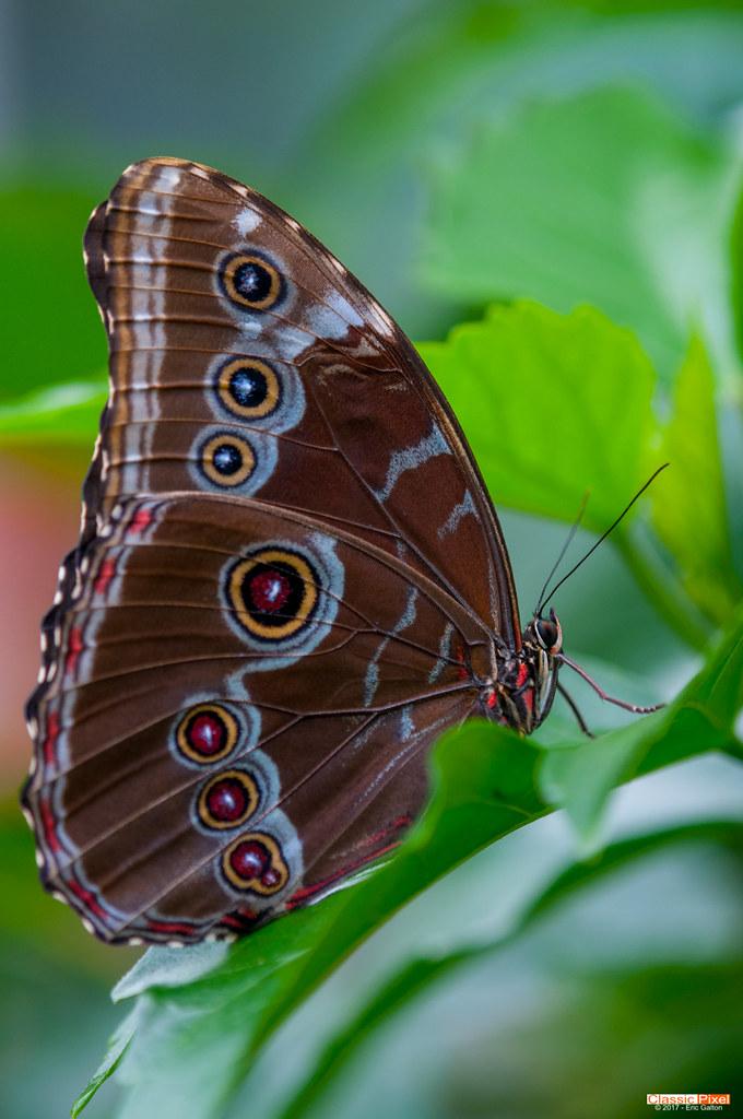 Blue Morpho Butterfly Papillon Morpho Bleu Eric Galton