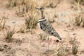 Double-banded courser   by dmmaus