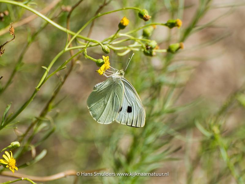 Klein koolwitje (Pieris rapae)-818_5714