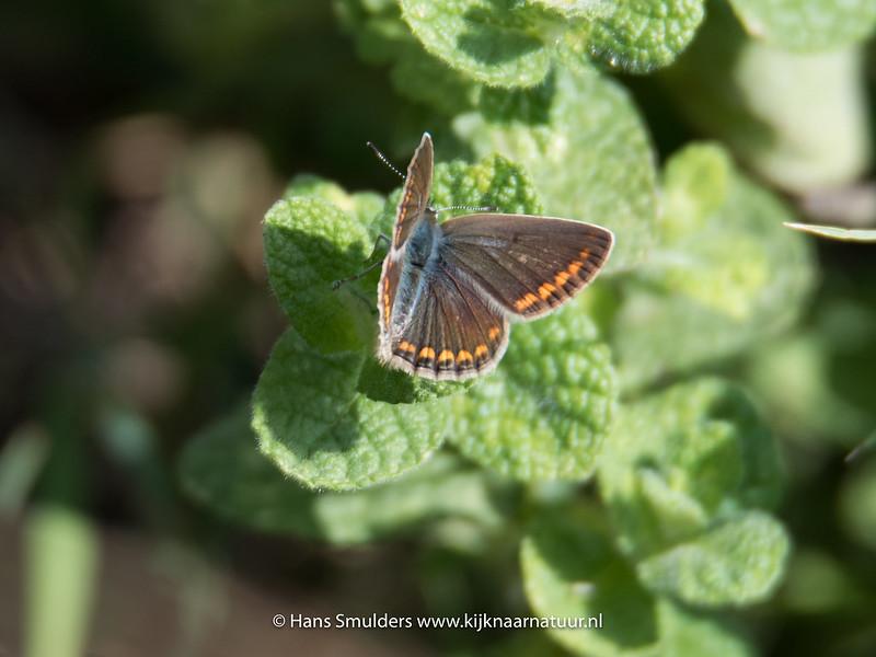Icarisblauwtje (Polyommatus icaris)-818_5773