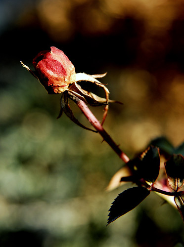 The Rose not Given | by Monday Morning Photography
