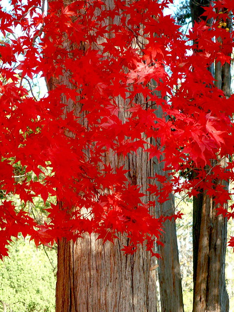 Chinese maple - RED