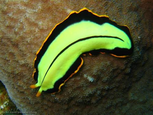 Pseudoceros dimidiatus | by richard ling