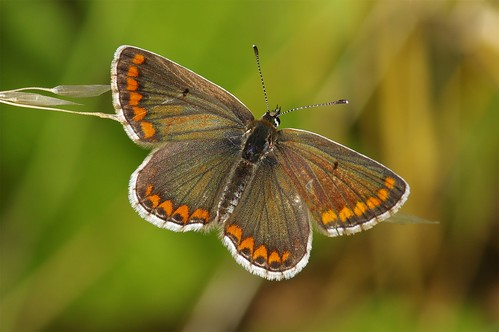 hayleywood cambridgeshire nature wild wildlife woodland insect butterfly brownargus ariciaagestis