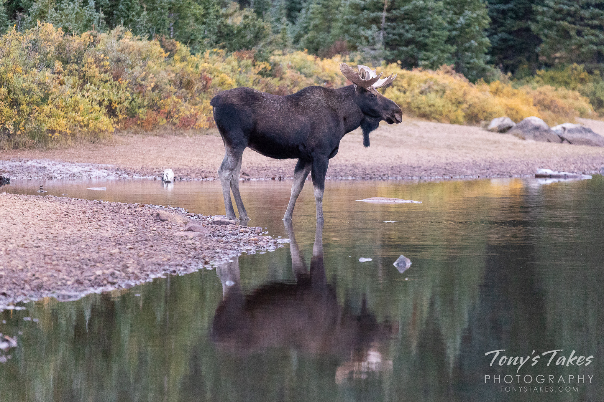 A moose bull stands on the shore o a lake in Colorado's high country. (© Tony's Takes)