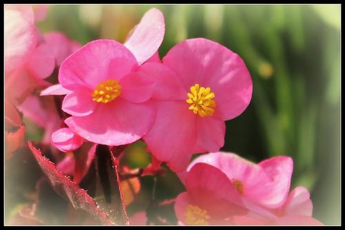 Begonia cucullata (= semperflorens) 30819831818_f663d8c22e