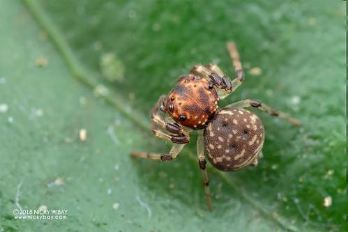 Crab spider (cf. Emplesiogonus sp.) - DSC_2870 | by nickybay