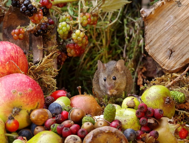 Autumn mouse with fruits and berries (13)