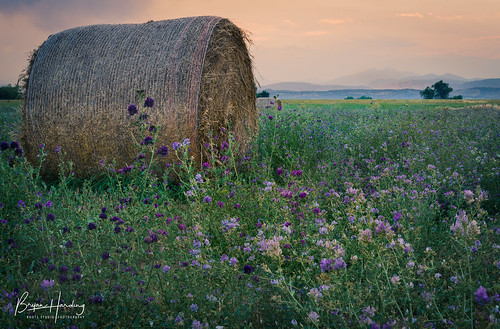 coloradolandscapephotography alfalfa hay field bale frontrangephotography front range colorado larimer county berthoud longmont