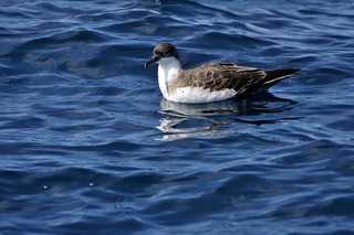 Great Shearwater (Ardenna gravis) | by Service Dolphin