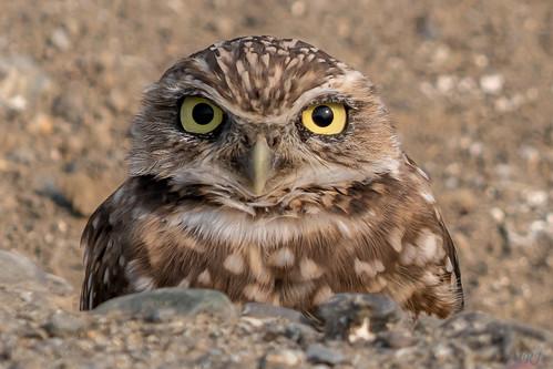 davis california unitedstates us borrowingowl a77ii alpha sonyalpha sony sonyilca77m2 sal70200g owl nature