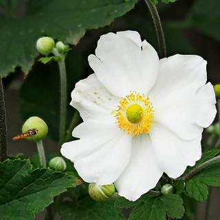 Japanese anemone Anemone × hybrida 'Honorine Jobert'  & Hoverfly