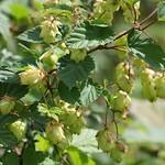 Gewöhnlicher Hopfen (Hop, Humulus lupulus)