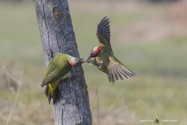 Picchio verde - Picus viridis