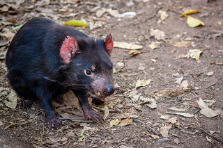 Tasmanian Devil | by Andy Hay